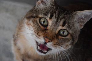 Katze miaut ständig fordert Aufmerksamkeit