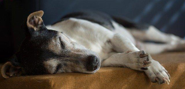 Ein alter Hund schläft viel